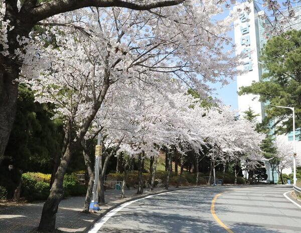 Con đường hoa anh đào tại Kangnam University