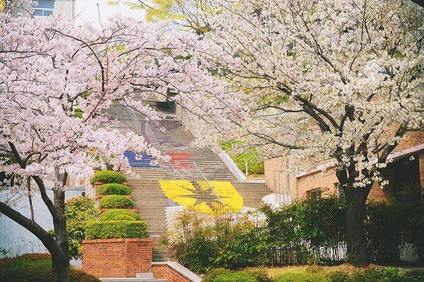 Khuôn viên Kyungsung University rực rỡ vào mùa xuân