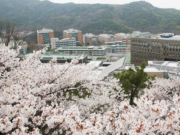 ĐHQG Seoul rực rỡ sắc hoa anh đào vào mùa xuân