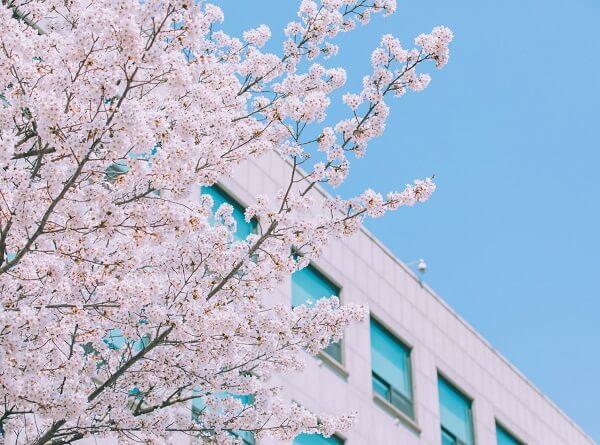 Đại học Namseoul đẹp dịu dàng vào mùa xuân