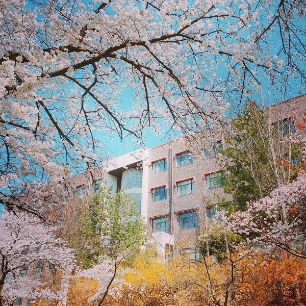Khuôn viên trường Quốc gia Andong đẹp tựa cổ tích vào mùa xuân