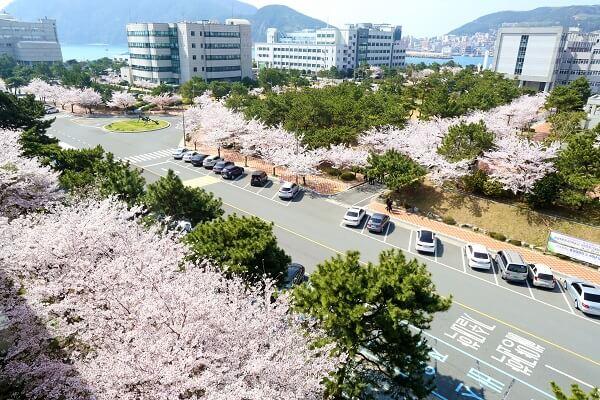 Học xá trường Hàng hải Hàn Quốc rực rỡ vào mùa xuân