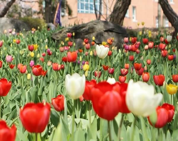 Hoa tulip đua nhau khoe sắc trong trường Keimyung