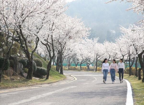 Con đường Hoa Anh Đào quanh trường