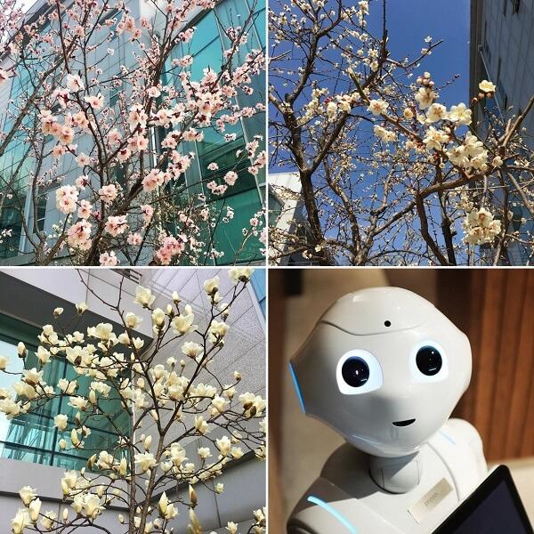 Học xá trường Khoa học và Công nghệ Hàn Quốc đẹp nên thơ vào mùa xuân
