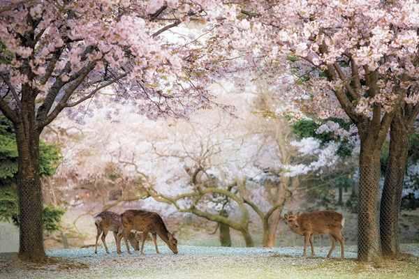 Hình ảnh các chú hươu lang thang trong công viên Nara thơ mộng