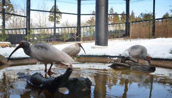 Sinh viên du học tại Niigata sẽ có cơ hội gặp gỡ loài chim Toki nổi tiếng được bảo tồn tại công viên Toki no Mori