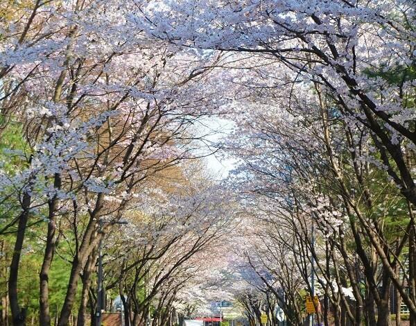 Con đường hoa anh đào thơ mộng tại Torch Trinity Graduate University