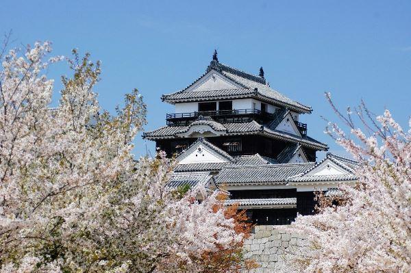 Lâu đài Matsuyama trong sắc anh đào rực rỡ